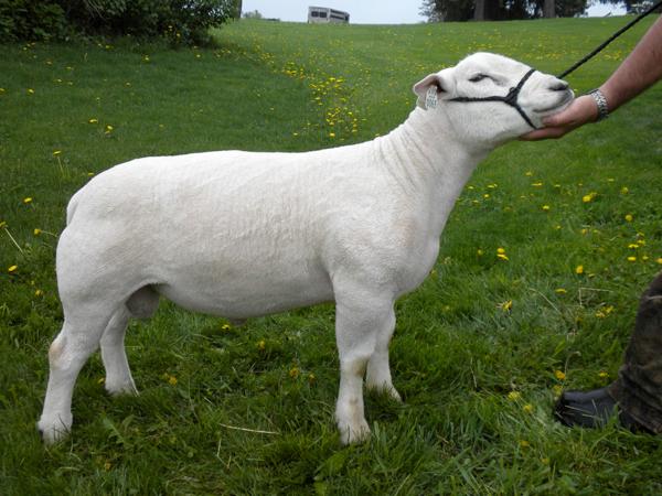 texel sheep breeders